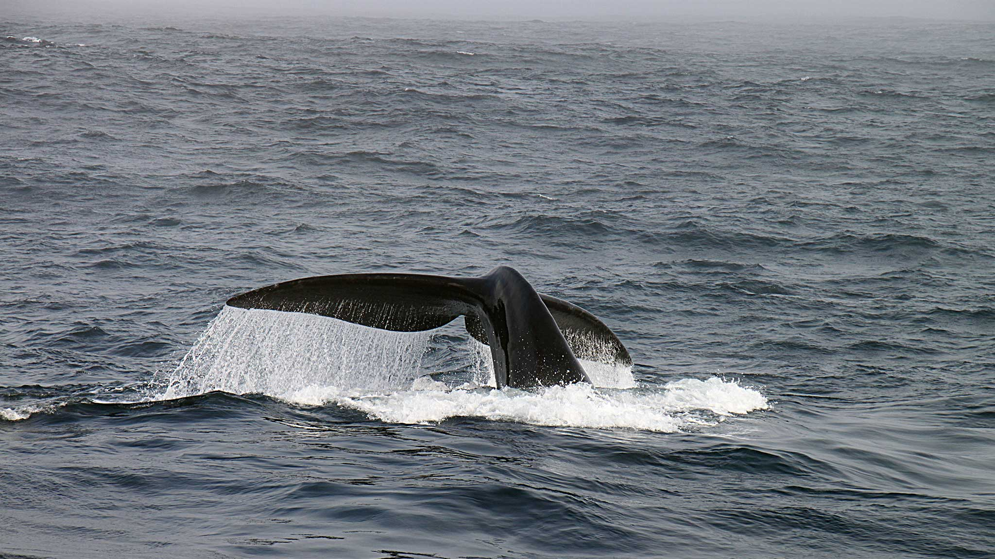 Una ballena se sumerge en las profundidades del Ártico.