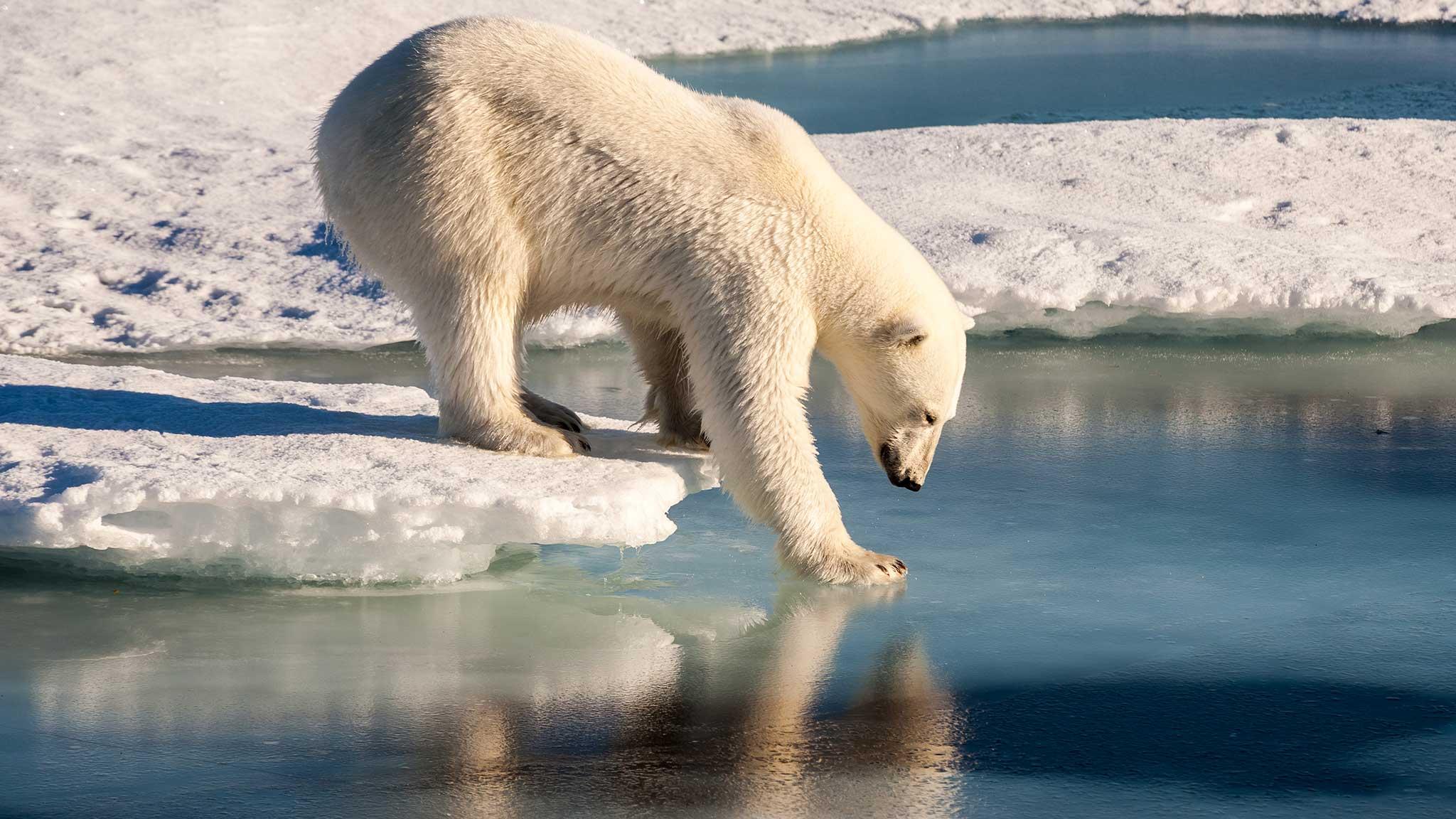 Un oso polar observa la capa de hielo.