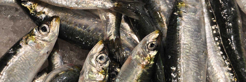 Campaña para estimar cuántas anchoas nacerán en el Golfo de Vizcaya