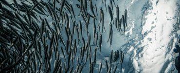 Cardumen de peces.