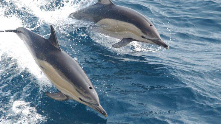 Delfines saltan sobre el mar.