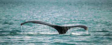 Una ballena sale a la superficie del océano.