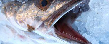 Celeiro y Burela son el principal suministrador de merluza fresca de pincho de Europa.