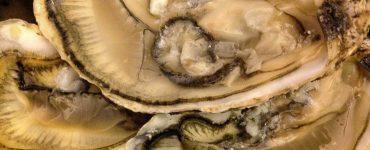 Imagen de ostras.