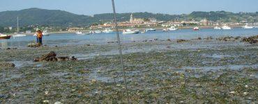 Estudio de las praderas marinas de 'zostera noltei' en la costa del Cantábrico.