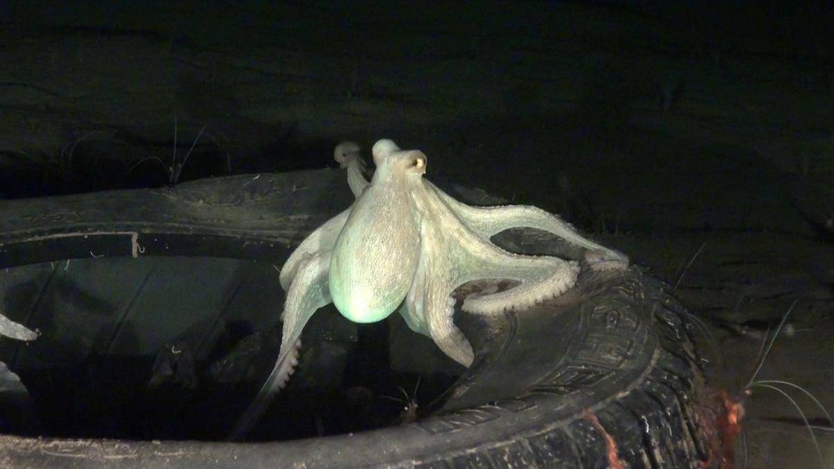 Un pulpo ha encontrado refugio en un viejo neumático arrojado al mar.