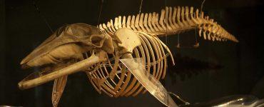 Esqueleto de rorcual en el Museo Marítimo del Cantábrico.