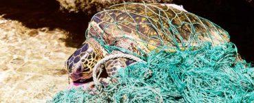 Tortuga enredada en redes de pesca.